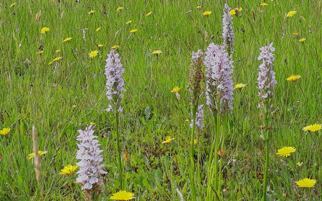 Havelterberg, resultaat na verschralen: grasklokje en gevlekte orchis.