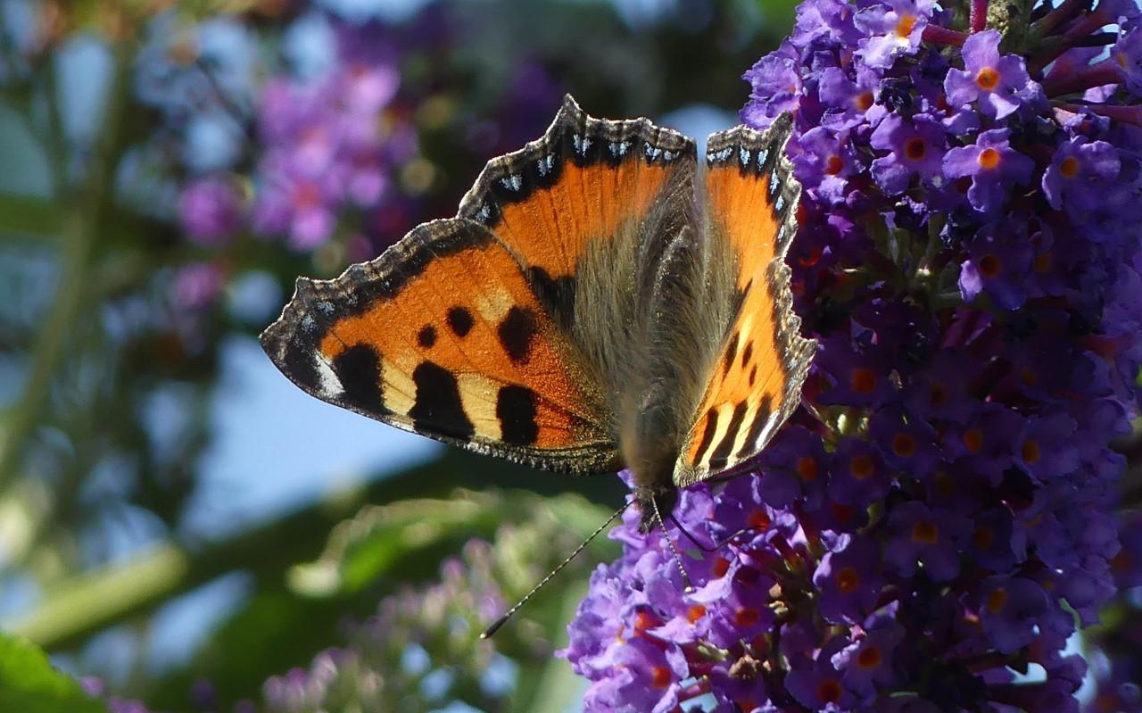 Kleine vos op een vlinderstruik.