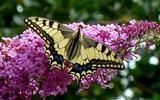Koninginnenpage op vlinderstruik.
