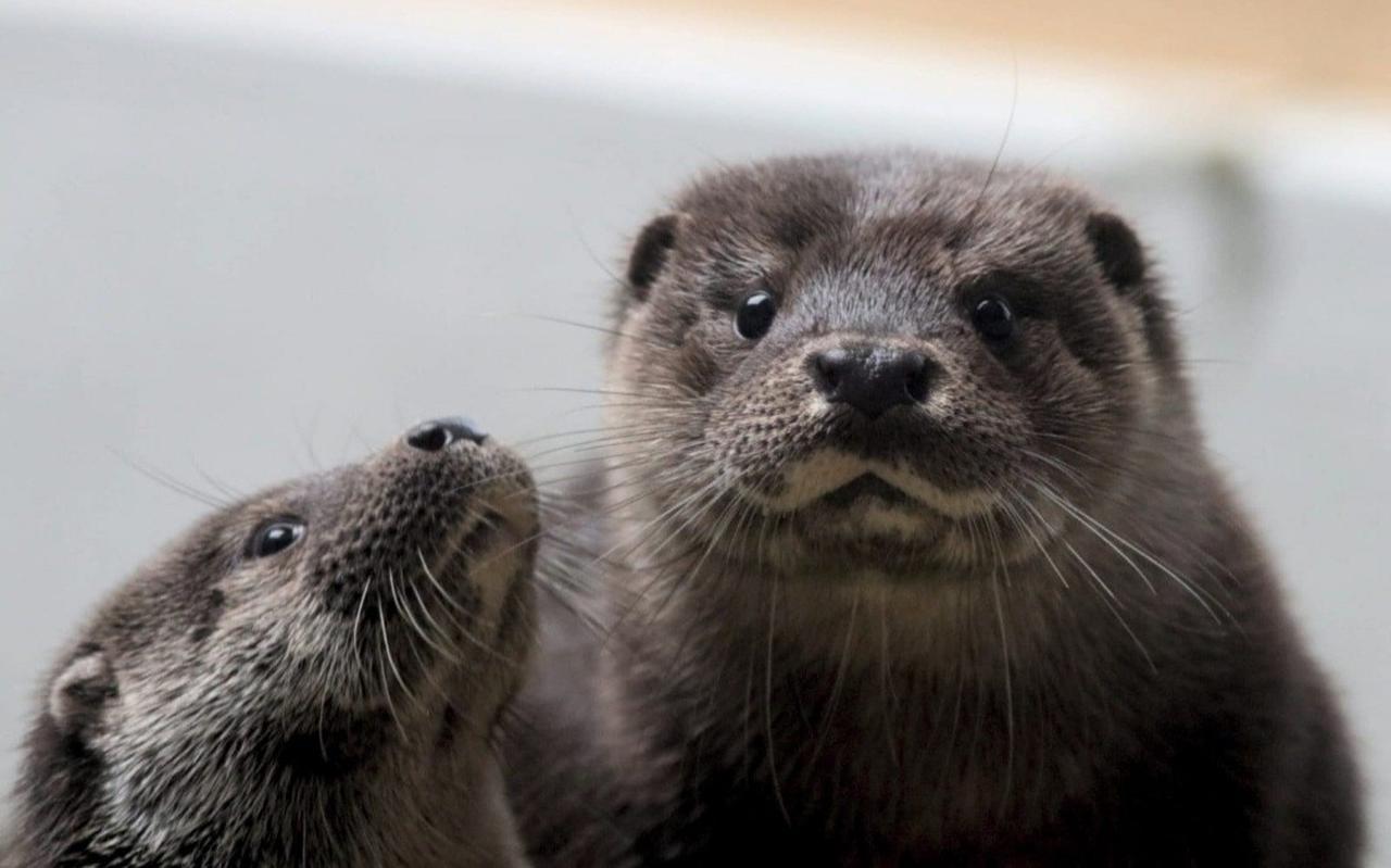 Twee otters in de opvang van De Fûgelhelling.