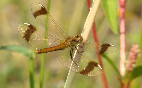 Natuurgebied Engbertsdijksvenen is de habitat voor veel libellen. Op de foto een bandheidelibel.