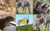 Dieren in Wildlands Emmen komen geregeld in het nieuws met incidenten.